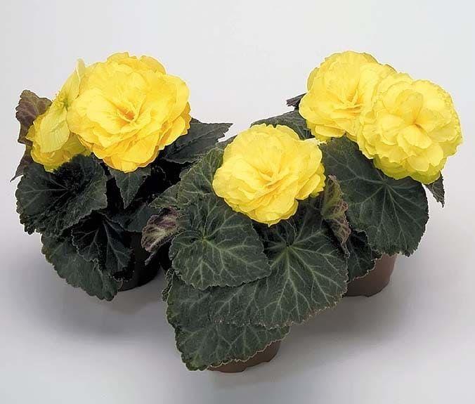 Begonia NONSTOP MOCCA YELLOW Бегония 2