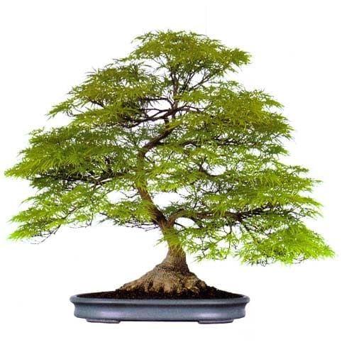 Acer PALMATUM DISSECTUM Клен веерный дланевидный Диссектум 3