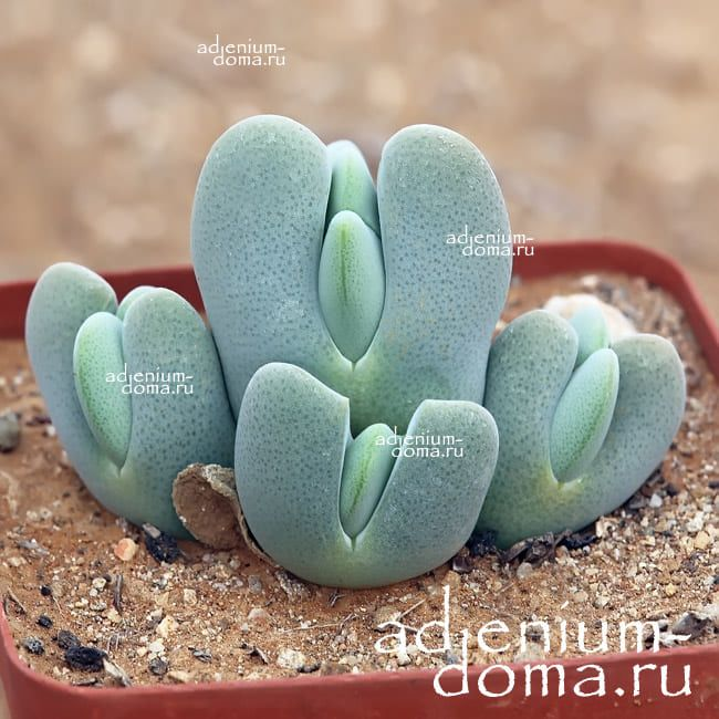 Cheiridopsis PILLANSII Хейридопсис Пилланса 1