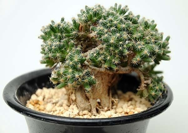 Trichodiadema DENSUM Триходиадема густая 3