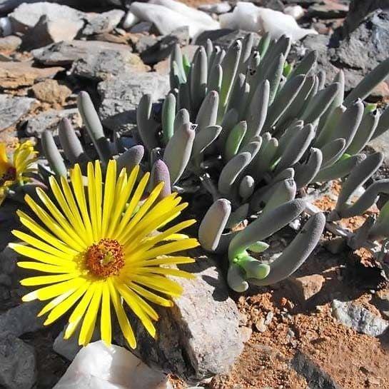 Cephalophyllum PILLANSII Роголистник Пилланса 3