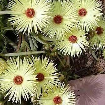 Cephalophyllum PILLANSII Роголистник Пилланса 1