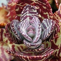 Растение Kalanchoe HUMILIS DESERT SURPRISE Каланхоэ 3