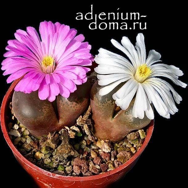 Conophytum TRIEBNERI Конофитум Требнера 3