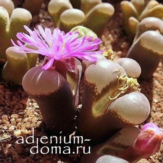 Conophytum TRIEBNERI Конофитум Требнера 4