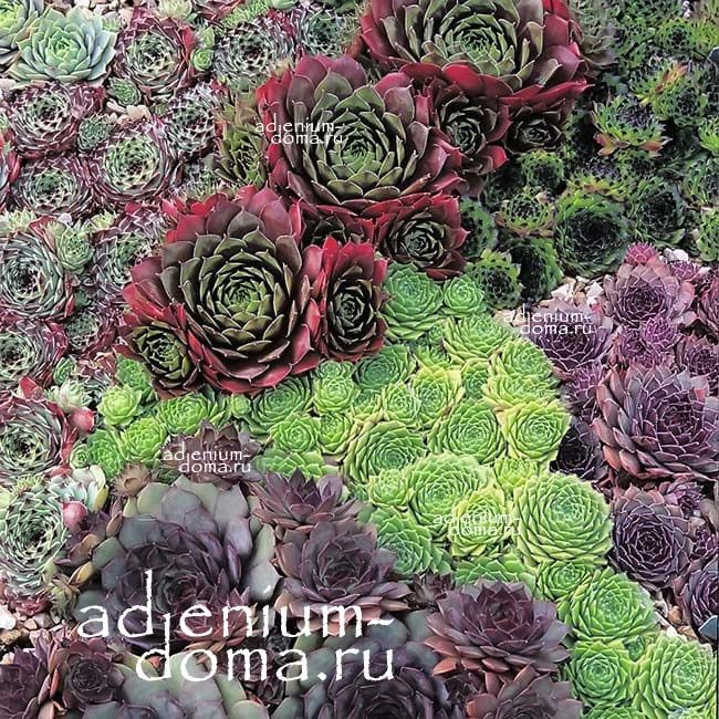 Sempervivum MIXED Молодило смесь видов 3