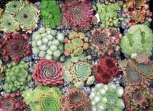 Sempervivum MIXED Молодило смесь видов 2
