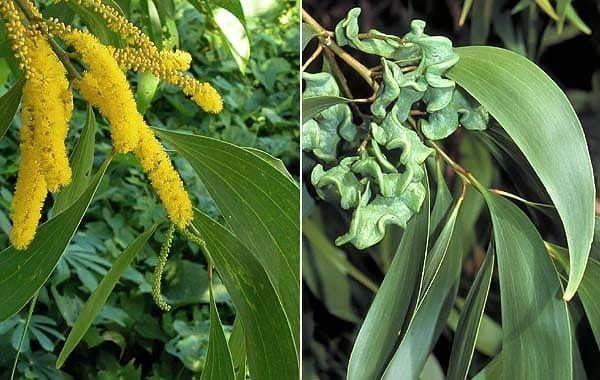 Acacia AURICULIFORMIS Акация 3
