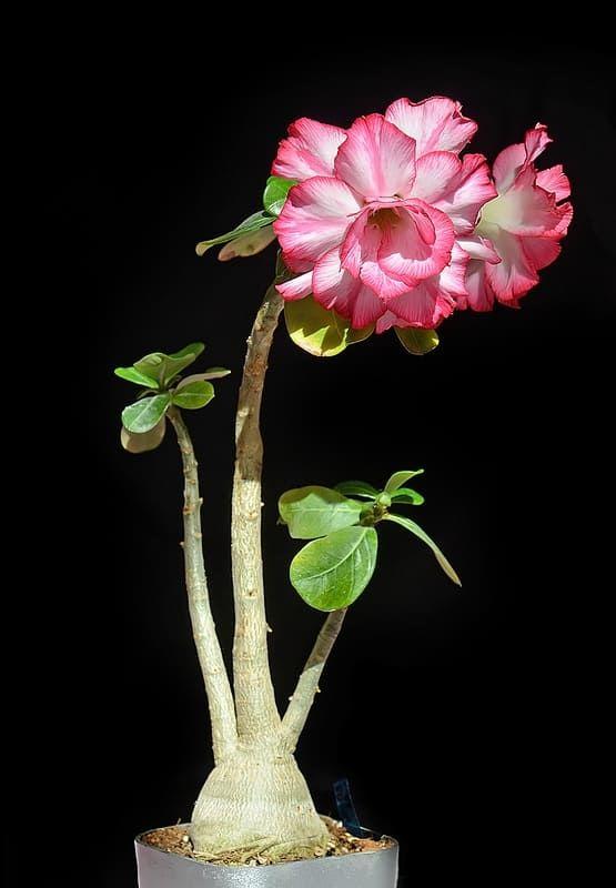 Ветка Adenium Obesum DOUBLE & TRIPLE MIX 1