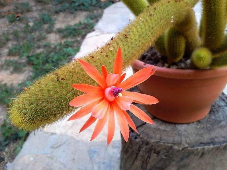 Hildewintera AUREISPINA Хильдевинтера Cleistocactus 1