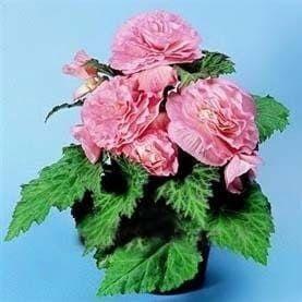 Begonia NONSTOP PINK Бегония 2