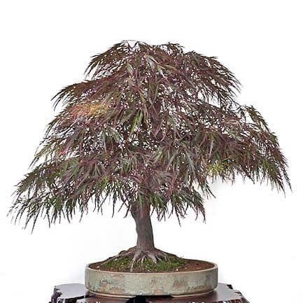 Acer PALMATUM DISSECTUM ATROPURPUREUM Клен веерный дланевидный Диссектум Атропурпуреум 1