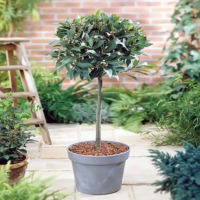 Лавровое дерево в домашних условиях фото