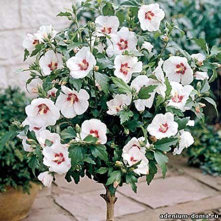 Hibiscus SYRIACUS RED HEART ROSE OF CHIFFON Гибискус сирийский 1
