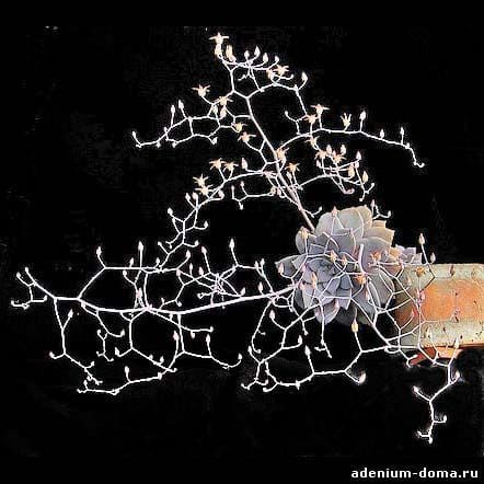 Graptopetalum PENTANDRUM Граптопеталум пятитычинковый 1