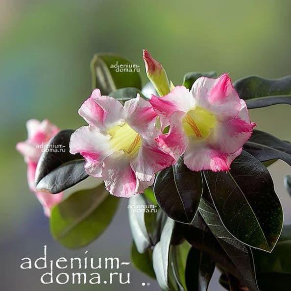 Ветка Adenium Obesum FRAGRANT DELIGHT