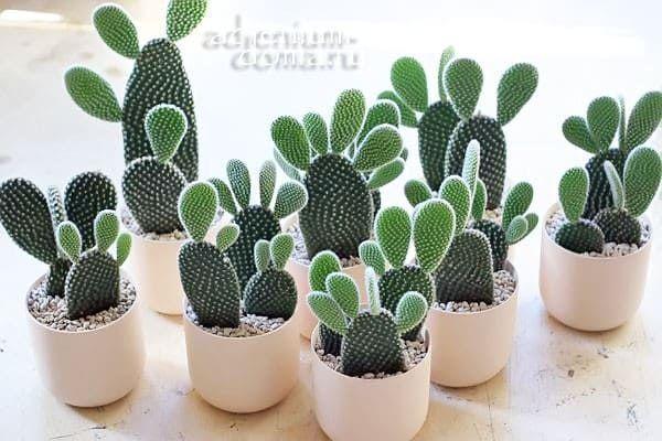 Растение Opuntia MICRODASYS ALBATA Опунция мелковолосистая 3