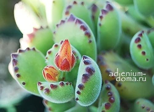 Растение Cotyledon TOMENTOSA Котиледон войлочный 3