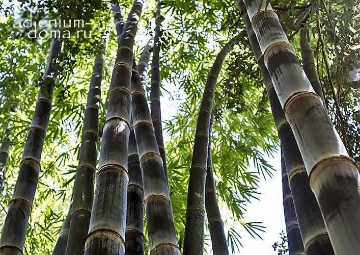 Dendrocalamus ASPER BETUNG HITAM Black Bamboo Бамбук шершавый черный Дендрокаламус 1