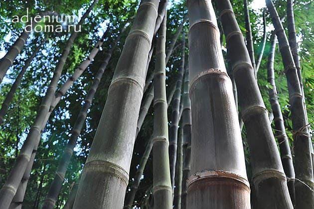 Dendrocalamus ASPER BETUNG HITAM Black Bamboo Бамбук шершавый черный Дендрокаламус 2