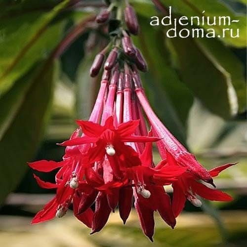Fuchsia BOLIVIANA RED Фуксия боливийская красноцветковая 1