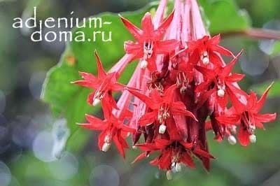 Fuchsia BOLIVIANA RED Фуксия боливийская красноцветковая 2