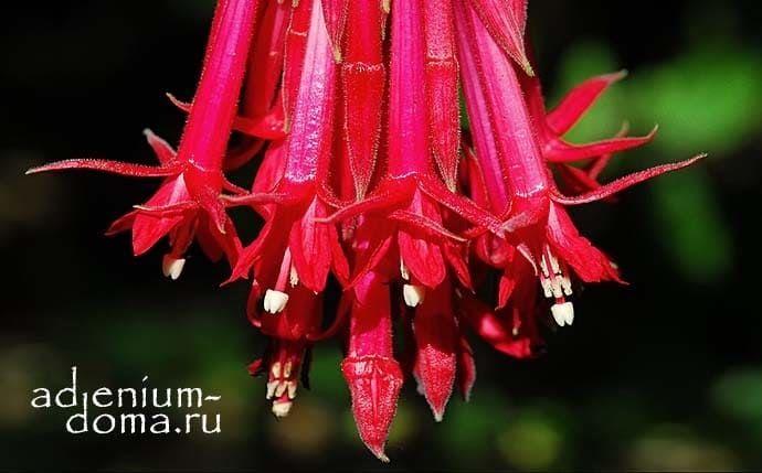 Fuchsia BOLIVIANA RED Фуксия боливийская красноцветковая 3