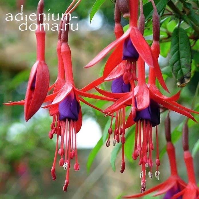 Fuchsia MAGELLANICA Фуксия магелланская 1