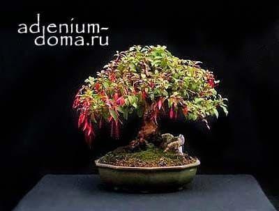 Fuchsia MAGELLANICA Фуксия магелланская 3