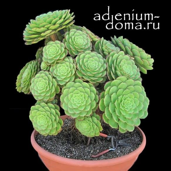 Aeonium SUBPLANUM Эониум субпланум 1