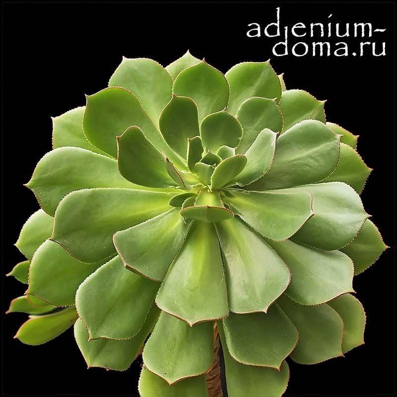 Aeonium PERCARNEUM Эониум мясистый 1