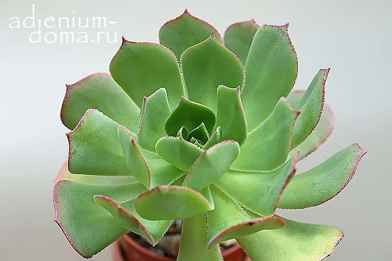 Aeonium PERCARNEUM Эониум мясистый 2