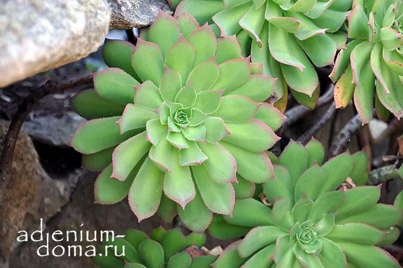 Aeonium PERCARNEUM Эониум мясистый 3