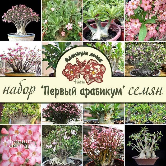 Набор семян ПЕРВЫЙ АРАБИКУМ 1