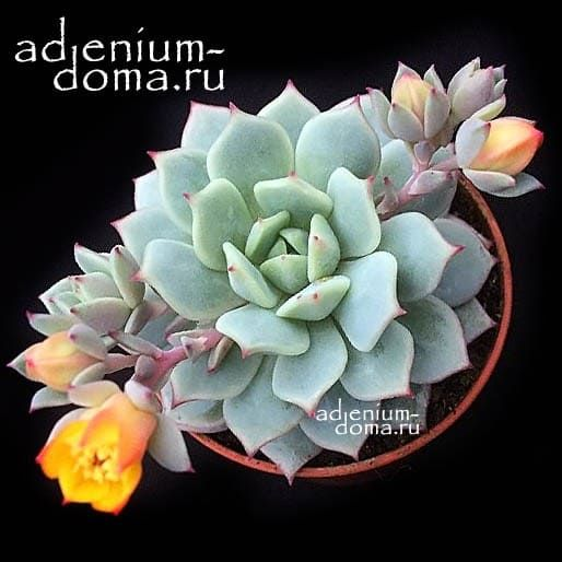Растение Echeveria DERENBERGII Эхеверия Деренберга 3