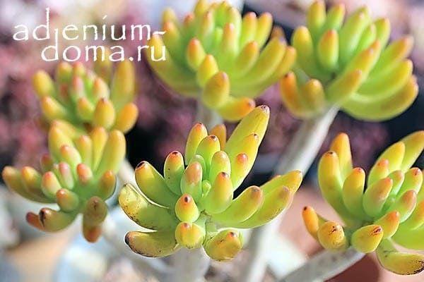 Sedum CORYNEPHYLLUM Седум Коринефиллум Очиток 2