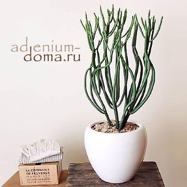 Euphorbia TIRUCALLI МолочайТирукалли 1
