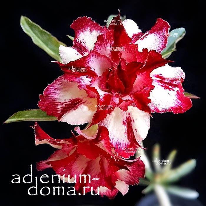 Adenium Obesum Double MYSTERY