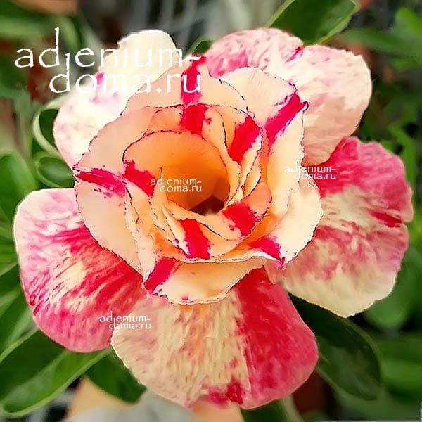Adenium Obesum адениум обесус LITTLE FAIRY