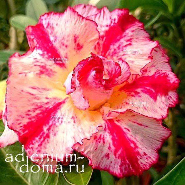 Adenium Obesum адениум обесум FORTUNE LOVE