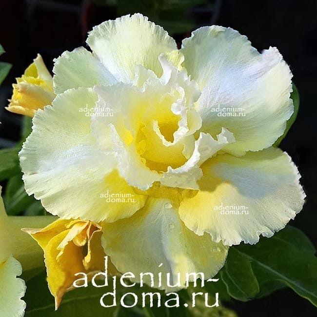 Adenium Obesum GOLDEN LARUEL адениум обесум