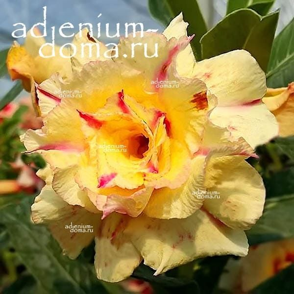 Adenium Obesum адениум обесум TROPICAL LOVE