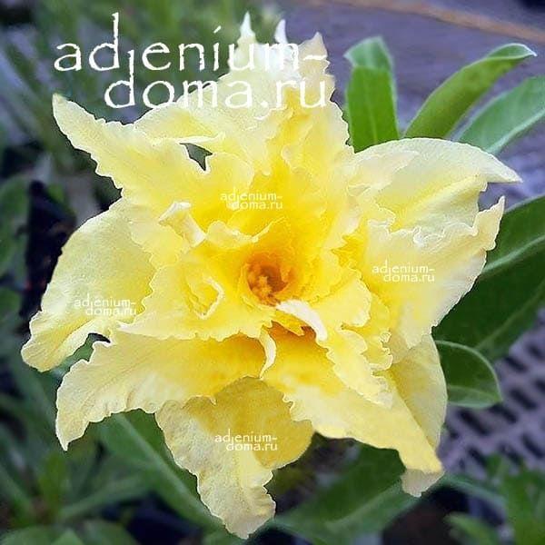 Adenium Obesum адениум обесум GOLDEN CICADA
