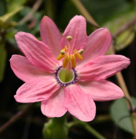 Passiflora MOLLISSIMA Пассифлора нежнейшая 1