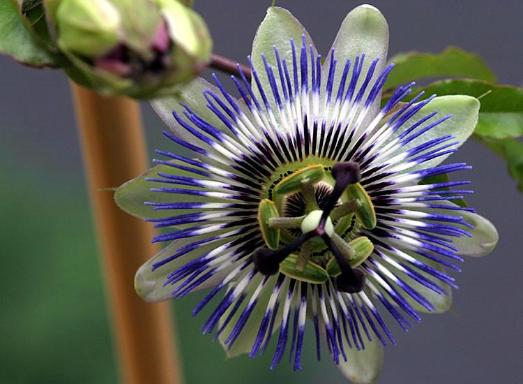 Passiflora CAERULEA Пассифлора голубая 2