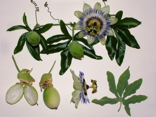 Passiflora CAERULEA Пассифлора голубая 1