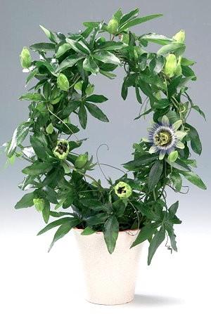 Passiflora CAERULEA Пассифлора голубая 3