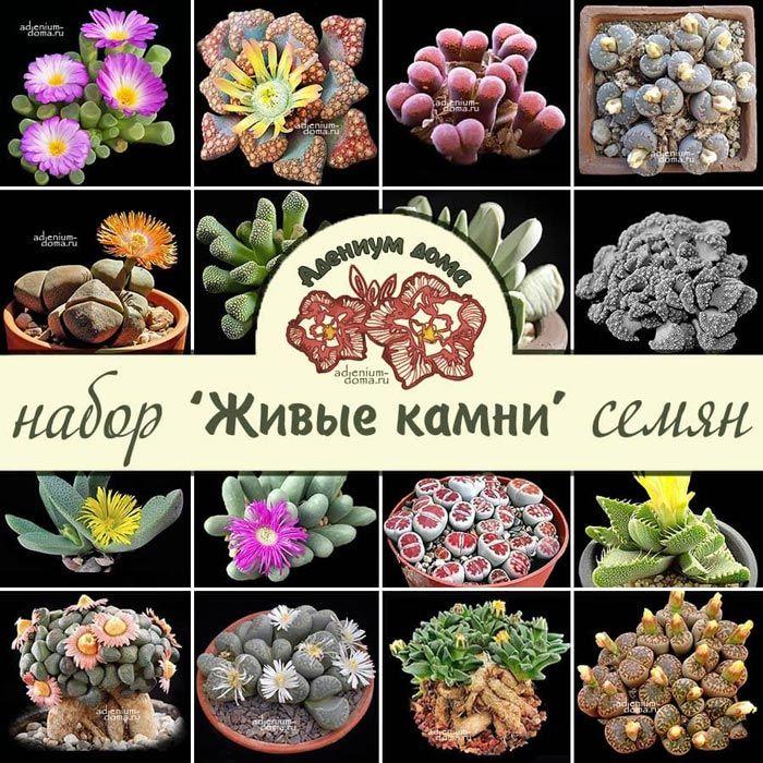 Набор семян ЖИВЫЕ КАМНИ 1