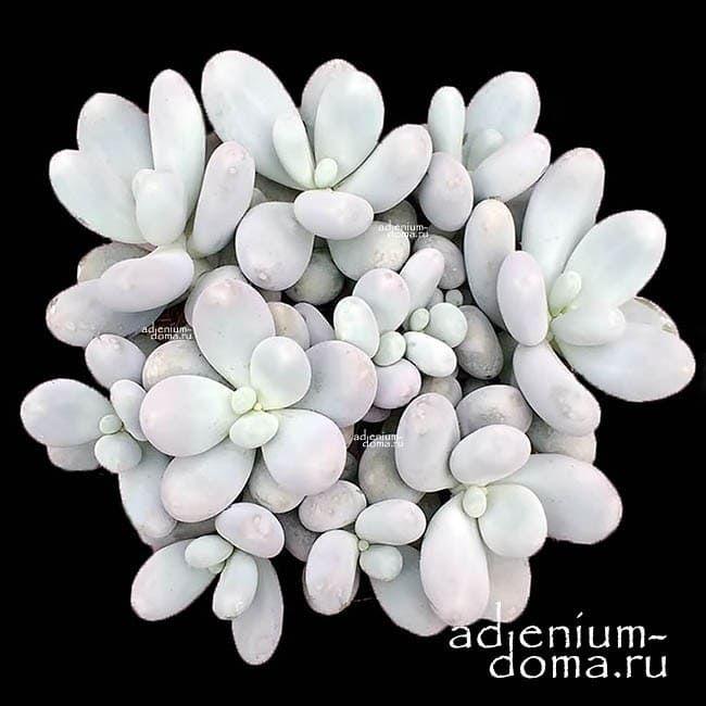 Pachyphytum OVIFERUM Пахифитум яйценосный 1