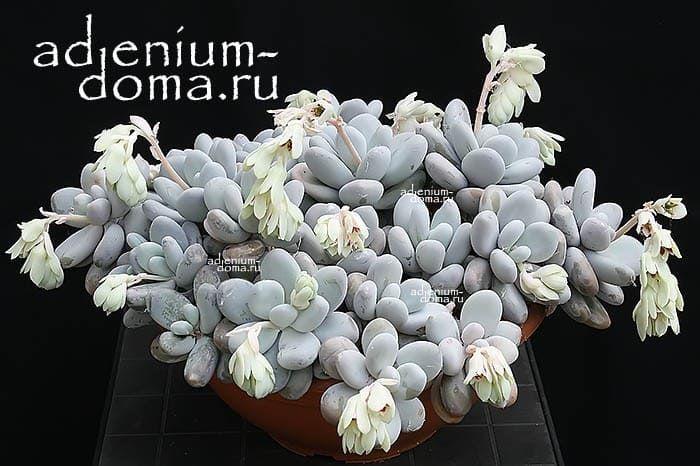 Pachyphytum OVIFERUM Пахифитум яйценосный 3